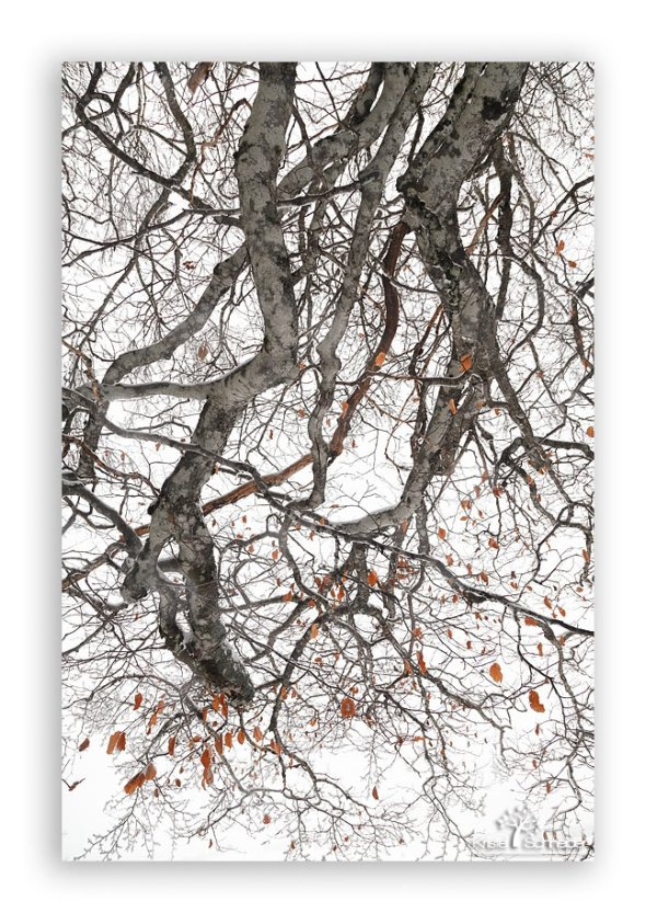 Beech-tree-branch-in-winter