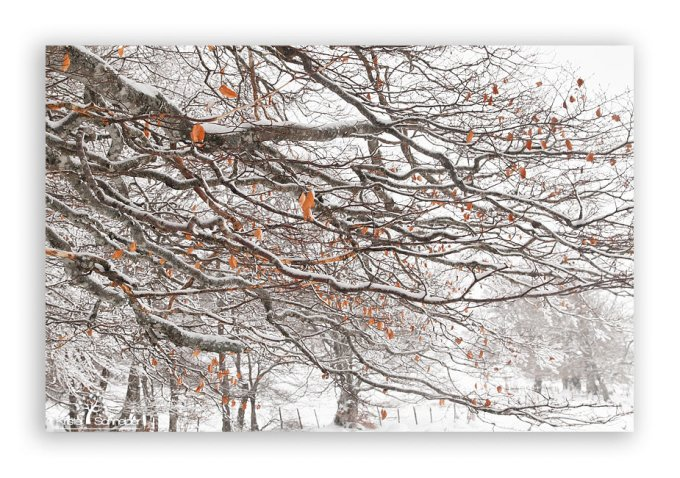 Beech-tree-branch-in-winter_2