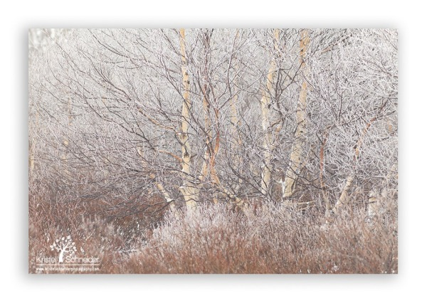 Birch-tree-with-frost