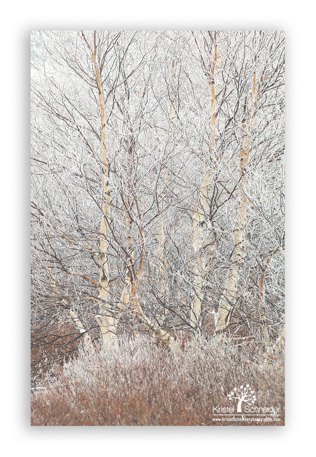 Birch-tree-with-frost_2