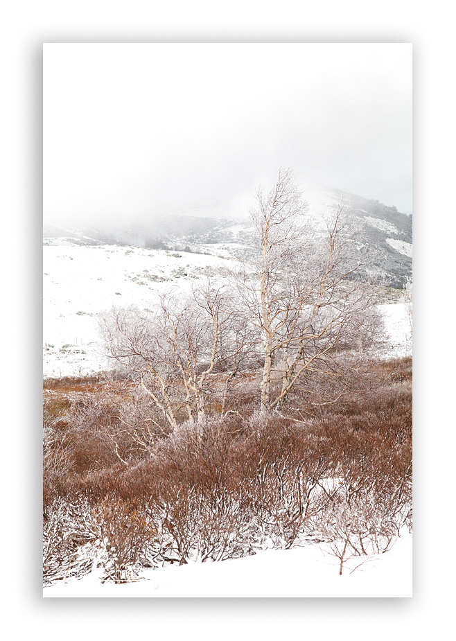 Birch-trees-with-frost_3