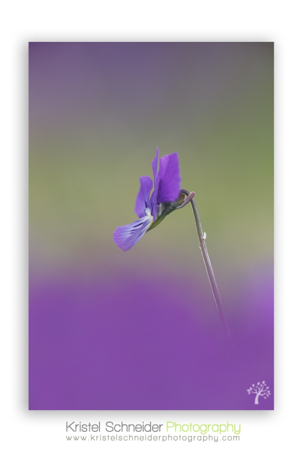 Common-dog-violet