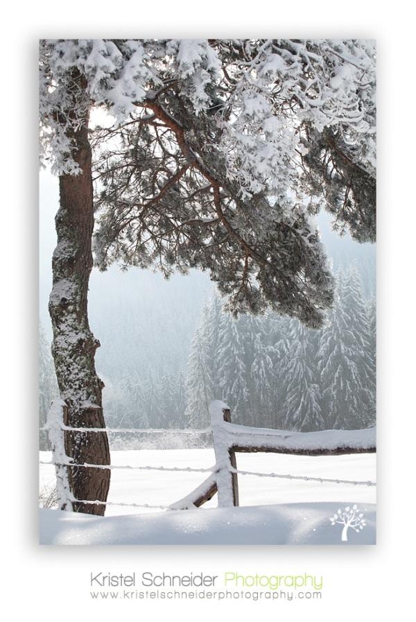 Scotisch-pine-tree