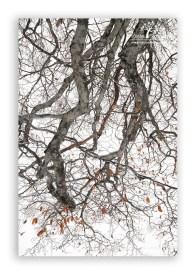 Beech-tree-branch-in-winter