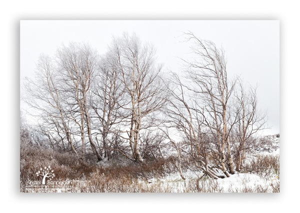 Birch-trees-with-frost_7