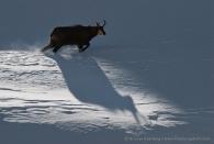 Chamois shadow. Gran Paradiso National Park, Italy.