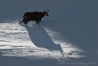 Chamois shadow. Gran Paradiso National Park, Italy.