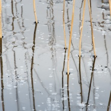 Common reed frozen in ice. Sør-Trøndelag, Norway.