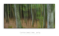Beech-trees-abstract