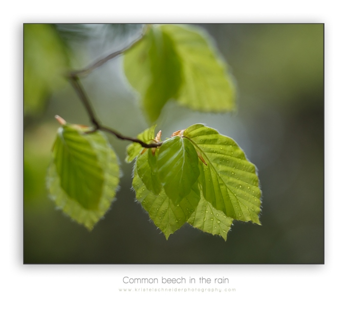 common-beech_2