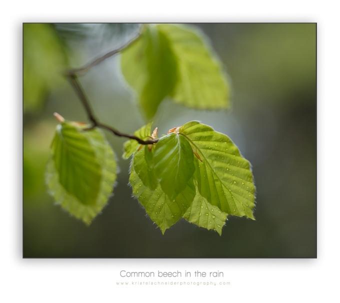 common-beech_2