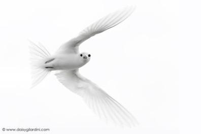 White tern in flight
