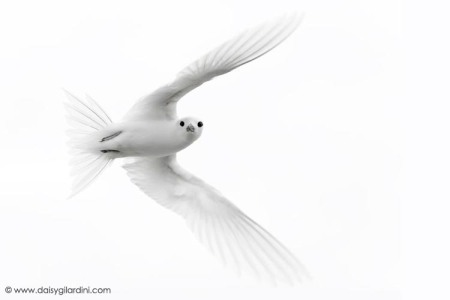 White tern in flight
