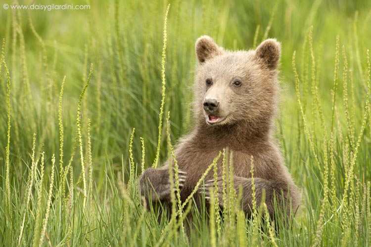 Grizzly bears cubs - photo#28