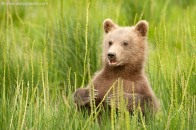 Grizzly bear cub standing in tall grass