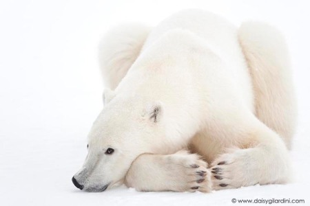 Potrait of Polar Bear