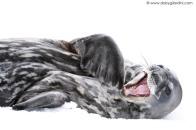 Weddel Seal yawning