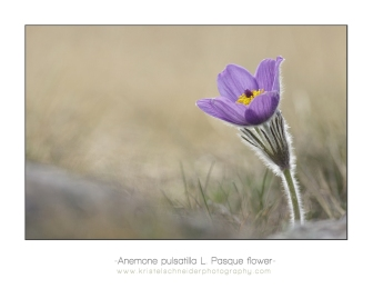 Anemone-pulsatilla-Pasque-flower_b
