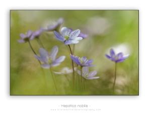 Hepatica-nobilis