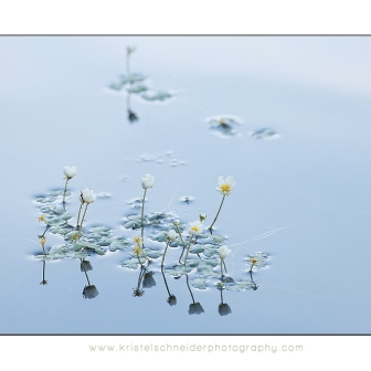 Pond-Water-crowfoot-_cards_expo