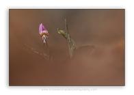 Erythronium-dens-canis_dog's-tooth-violet