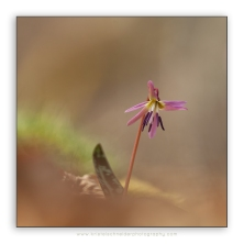 Erythronium-dens-canis_dog's-tooth-violet_4