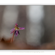 Erythronium-dens-canis_dog's-tooth-violet_5