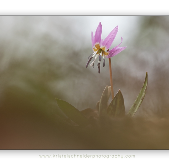 Erythronium-dens-canis_dog's-tooth-violet_8