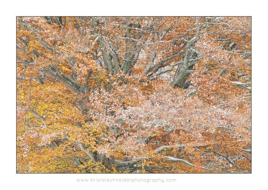 Beech_Fagus-sylvatica-tree_1