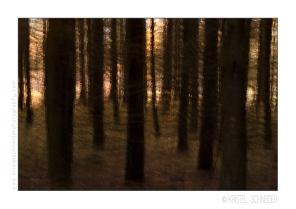 pine-trees-autumn
